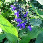 Salvia Costa Rica Blue