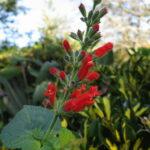 Salvia adenophora