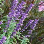 Salvia Mexican